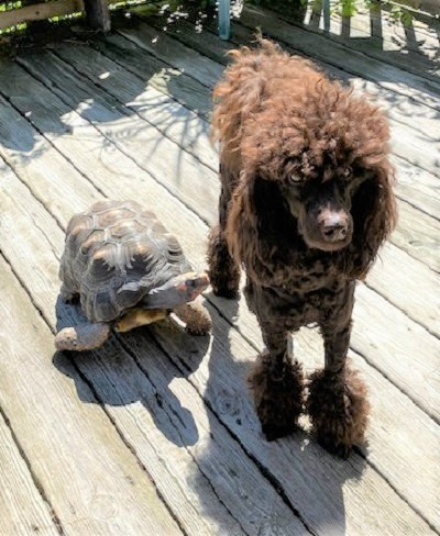 A turtle and miniature poodle who are part of the menagerie of animals at author Joseph Bruchac's home.