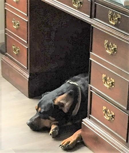 Author Angela Burke Kunkel's dog, Jack, sleeping under her desk.